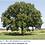 Thumbnail: Oak, Bur