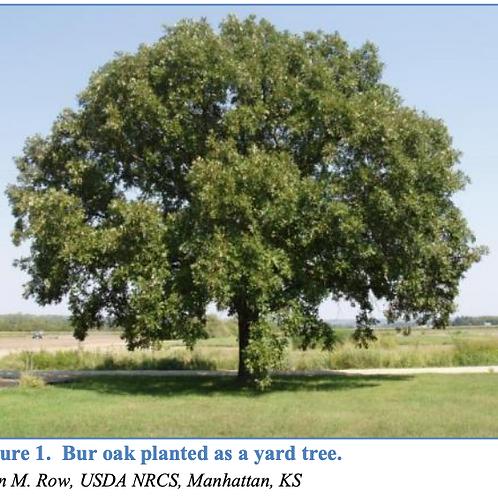 Oak, Bur