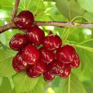 Cherry, Skeena (sweet)