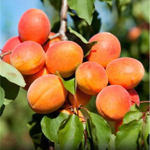 Apricot, Goldrich