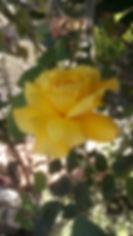 Rose 20_03_2020.jpg