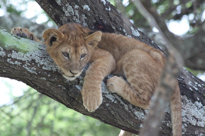 Cub in a Tree