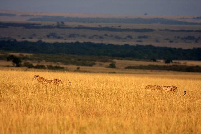 Lions Serengeti (Lemala)