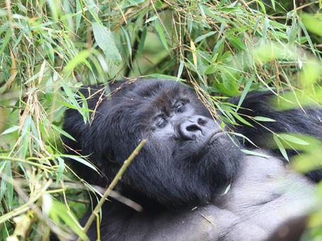 Gorilla Day!!