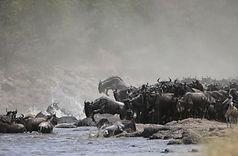 Wildebeest Serengeti (Lemala)