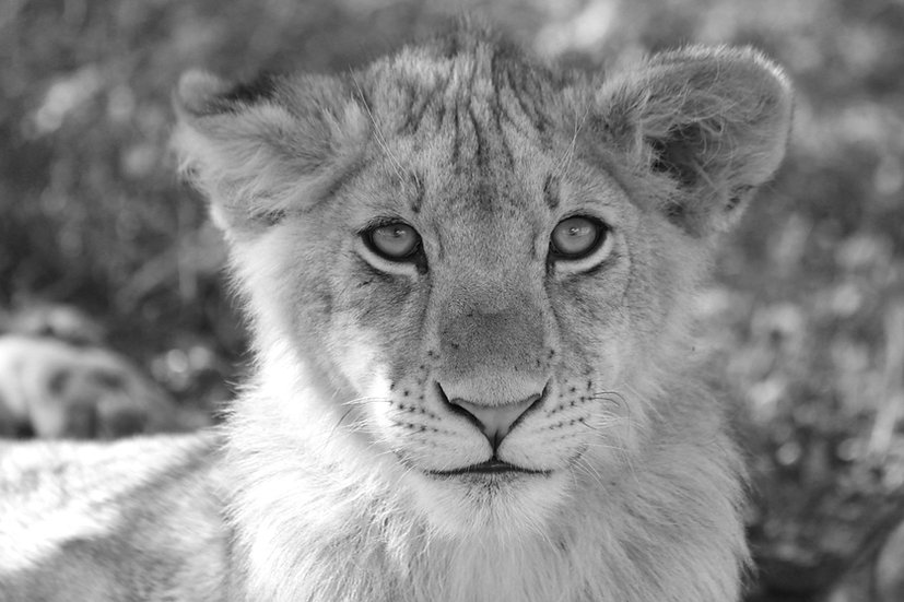 Handsome Cub B&W