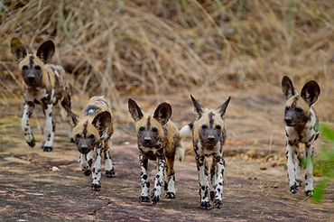 Selous-wild-dog-RR.jpg
