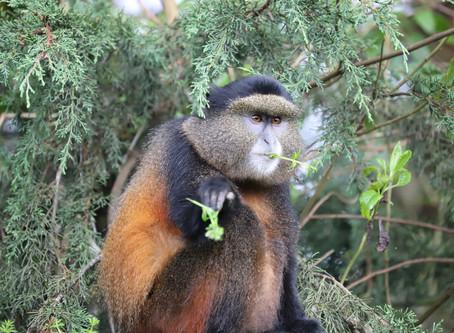 Golden Monkeys & Sabinyo Silverback Lodge