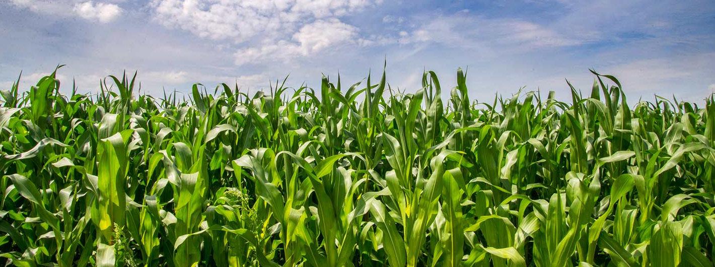 maize-maze-sky.jpg