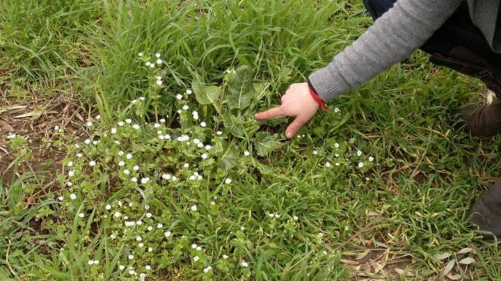 riconoscimento erbe spontanee
