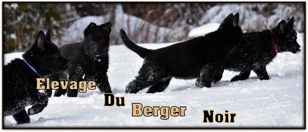 du-berger-noir-1.jpg