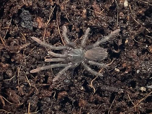 "Sahydroaraneus raja 3rd instar (1/2"")"
