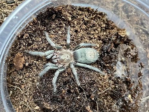 "Thrixopelma sp. sullana 3-4 instar (3/4""-1"")"