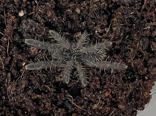 """Phormingochilus sp. rufus 2-3 instar (1/2""""-3/4"""")"""