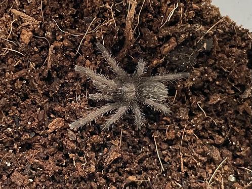 """Citharognathus tongmianensis 3rd instar (3/4"""")"""