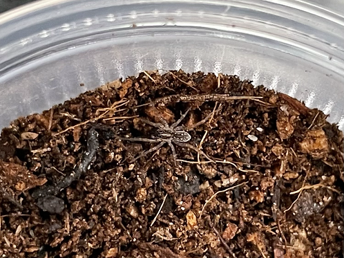 """Hogna sp. 1/8""""-1/4"""" (Marion County Wolf Spider)"""