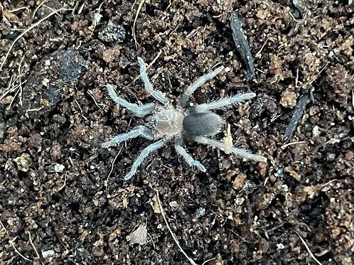 "Holothele sp. Norte de Santander 2-3 instar (1/2"")"
