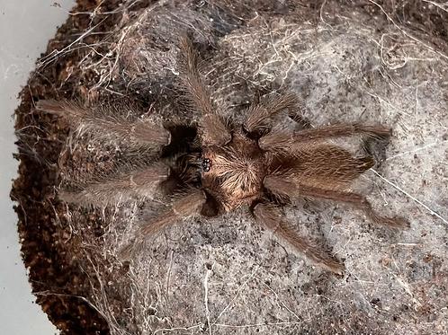 """Orphnaecus sp. cebu 2.5"""" MALE"""
