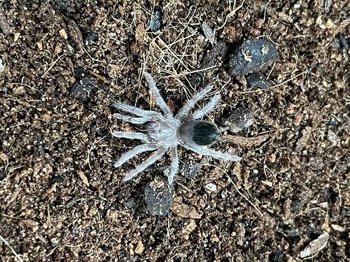 "Aphonopelma sp. tamaulipas 2-3 instar (1/2"")"