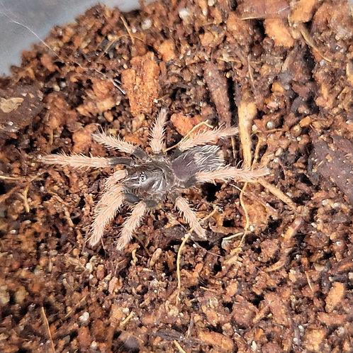 """Cyriocosmus giganteus 2nd instar (1/2"""")"""