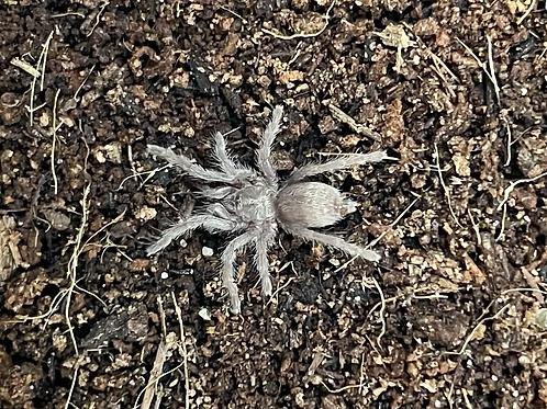 "Brachionopus sp. black 3rd instar (1/2"")"