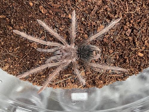 """Xenesthis sp. megascopula 1.5"""""""