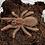"""Thumbnail: Pelinobius muticus FEMALE 2"""""""