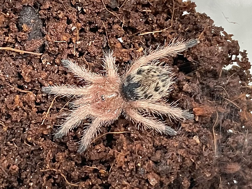 """Thrixopelma ockerti 2-3 instar (1/2""""-3/4"""")"""
