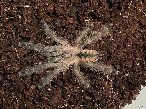 """Pseudoclamoris elenae 4th instar (1.25"""")"""