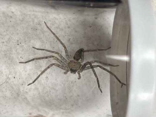 "Heteropoda venatoria 1/4""-1/2"""