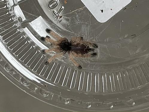 "Avicularia juruensis 2-3 instar (1/2""-3/4"")"
