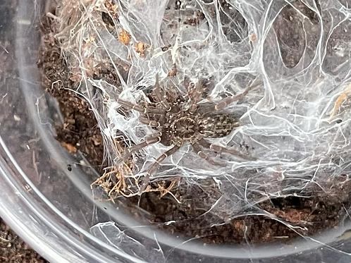 "Heterothele gabonensis 2nd instar (1/4"")"