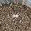 "Thumbnail: Pseudhapalopus sp. Gitan 2nd instar (1/4"")"