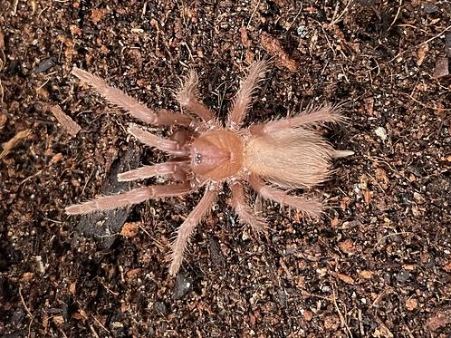 """Citharacanthus cyaneus FEMALE 1.5"""""""