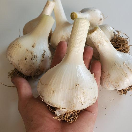 Elephant Garlic, Certified Organic