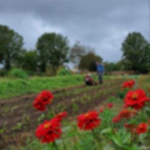 Farm Zinnias