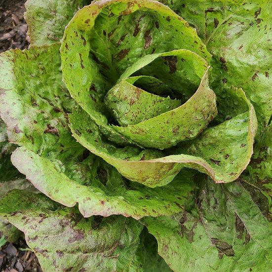 Radicchio, variegato di Castelfranco