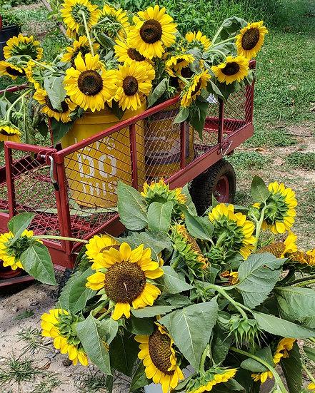 Sunflower Stem, each