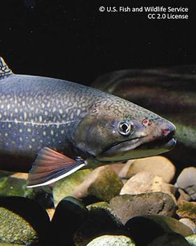 CC-Eastern-brook-trout-USFWS--UQTR-311x3