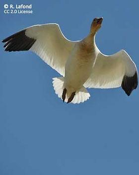 cc-snow-goose-311x388.jpg