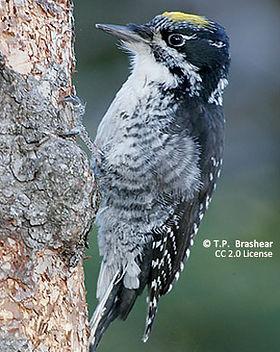 cc-three-toed-woodpecker-311x388.jpg