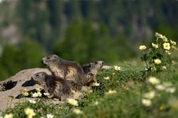 marmots-1250x830