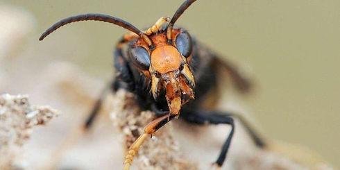 le-vespa-velutina-nigrithorax.jpg