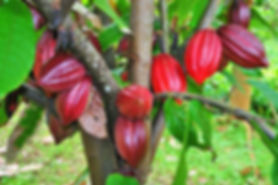 Organic cacao pods