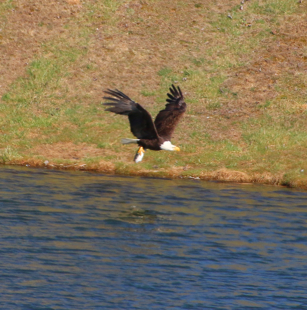 Eagle captures bass upper pond 2017