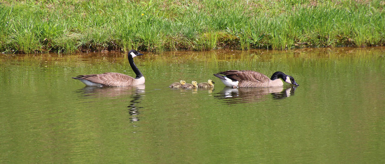 Geese upper pond 2015
