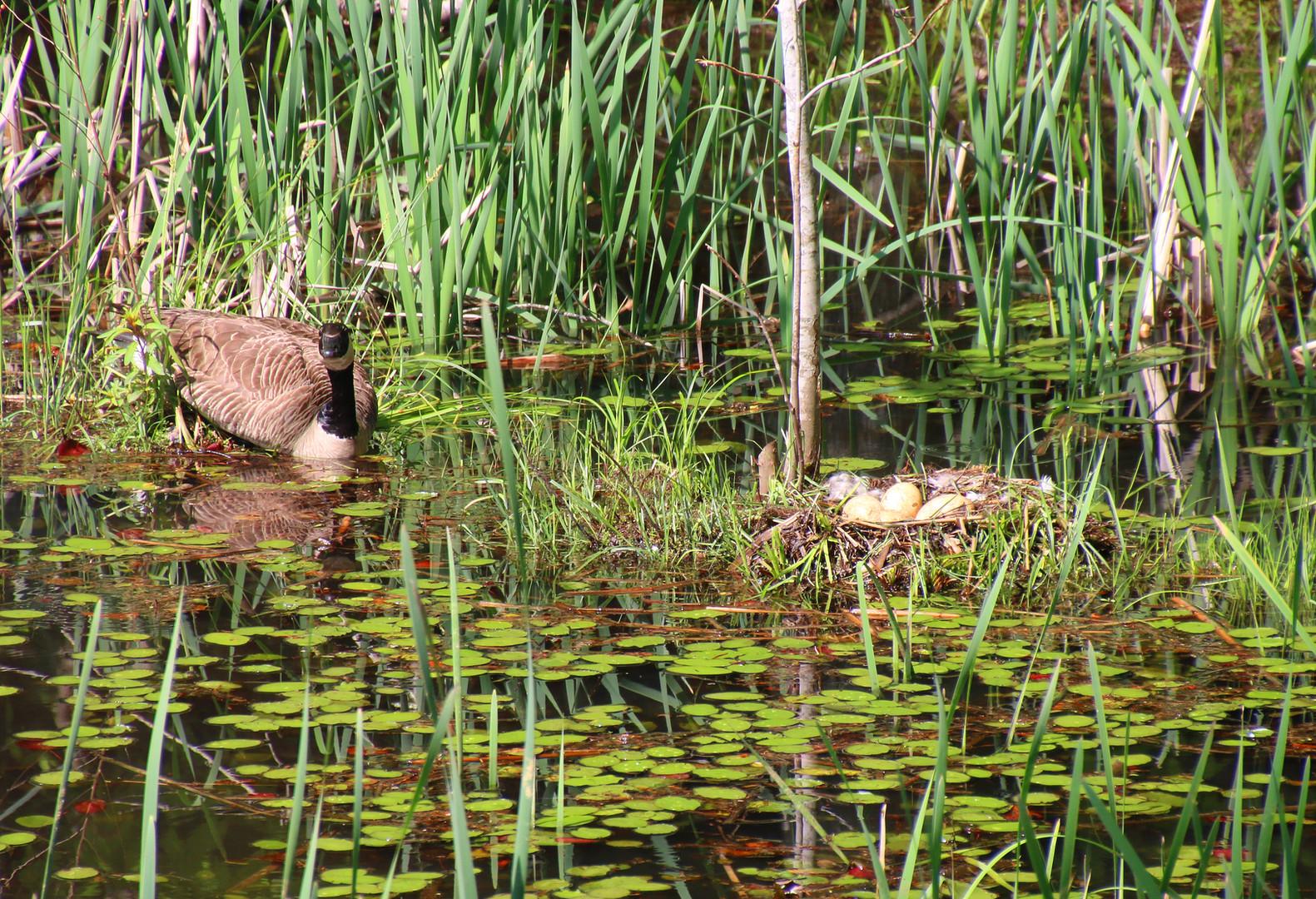 Mother goose guarding nest lower pond 2015