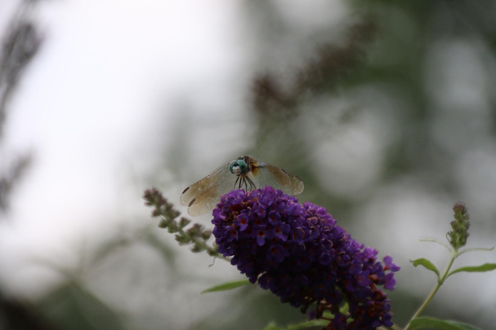Dragon fly                   on my hydrangea 2017