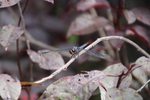 Dragon fly garden 2015