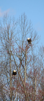 Eagles hunting for fish in upper pond 2017